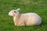 Schaf, liegend auf dem Deich - 208756107