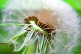 Ripe dandelion seeds close-up, spring beautiful landscape, selective focus, macro  - 208759740