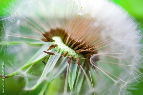 Canvas Paardenbloemen Ripe dandelion seeds close-up, spring beautiful landscape, selective focus, macro