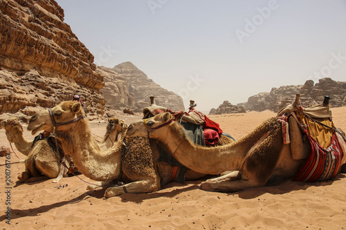 Fotobehang Kameel Camels rest on the sand in the desert Wadi Rum, Jordan.