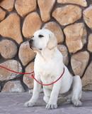 yellow labrador in the park - 208767904