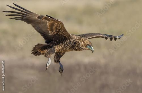 Plexiglas Eagle Bateleur landing 2