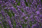 Lavender field closeup - sunny fresh fragrant impression - 208770100