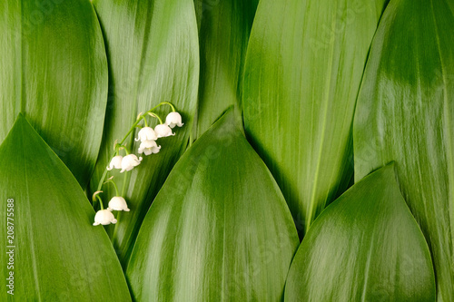 Fotobehang Lelietjes van dalen Background of green leaves of lily of the valley with flower. Texture.