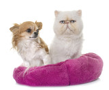 white persian cat and chihuahua - 208775764