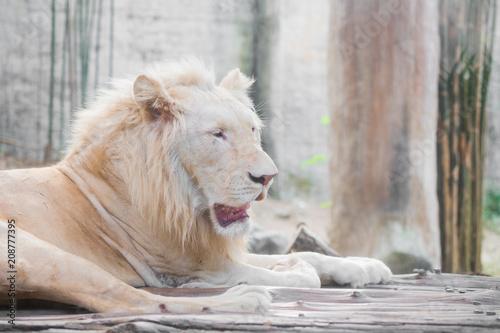 Fotobehang Lion white lion at the zoo