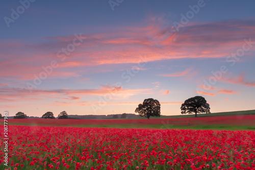 Aluminium Klaprozen Poppy field at sunset