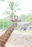 Close-up of a giraffe head at the zoo - 208778743