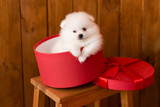 Little Pomeranian spitz-dogpuppy.It can be used as a background - 208780990
