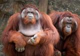 orangutan cute - 208781342
