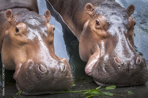 Hippopotamus (Hippopotamus Amphibius) bathing in waterhole.