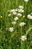 Sommerwiese mit Mageriten