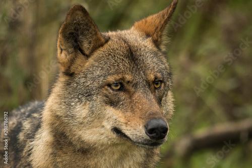 Fototapeta Iberian Wolf