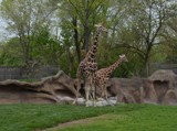 Giraffe - 208786529
