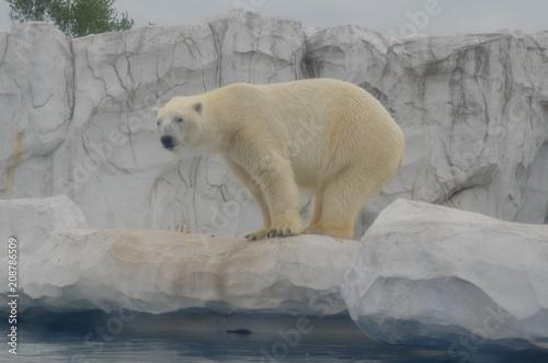 Fotobehang Ijsbeer Polar Bear