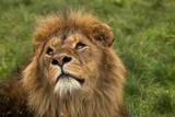 Safari Park Lion - 208786923