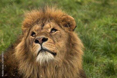 Fotobehang Lion Safari Park Lion