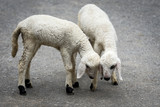 two very young white lambs. - 208795321