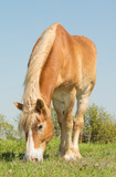 Blond Belgian Draft horse grazing on grass in spring