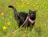 Black cat on leash on a colorful spring meadow with flowers