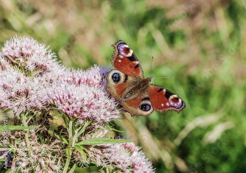 Aluminium Vlinder rusałka pawik na kwiatku
