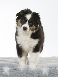 Australian shepherd dog puppy in a studio with white background. 11 weeks old puppy isolated on white. - 208810763