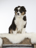 Australian shepherd dog puppy in a studio with white background. 11 weeks old puppy isolated on white. - 208810779