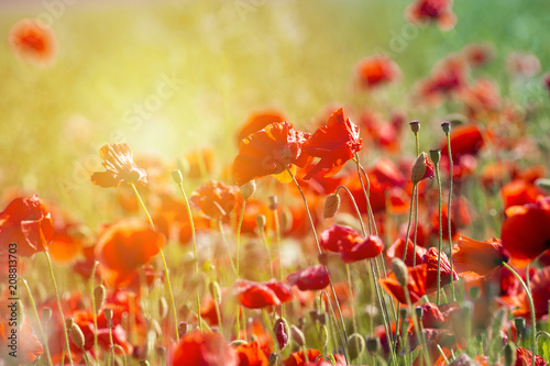 Aluminium Klaprozen Poppy flower or papaver rhoeas poppy with the light