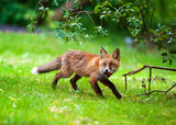 Fox with food in his mouth in the forest - 208825111