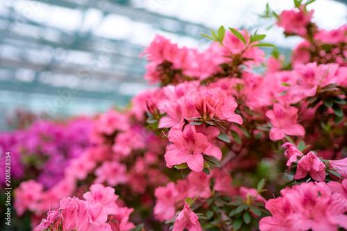 Fotobehang Azalea Beautiful blossom of azaleas flowers.