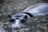 hipopotam patrzy w obiektyw - 208829516
