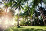 Tropical landscape. Sunny day. Beautiful green coconut palms plantation.