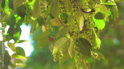 tree branches with green leaves poplar rocking in the wind slow motion video. nature landscape concept leaves lifestyle tree branch