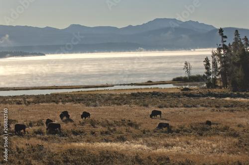 Fotobehang Beige Bison grazing in meadow; Yellowstone NP; Wyoming