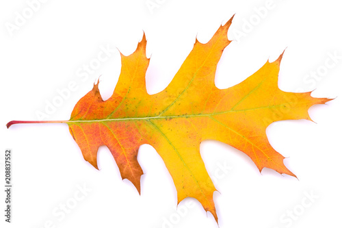 Autumn Oak leaf isolated