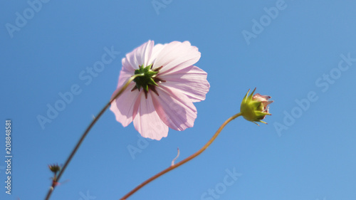 Cosmos flower for sky background