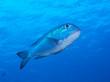 Trevally Fish Underwater Close Up