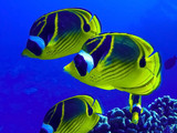 Close Up Raccoon Butterfly Fish Underwater