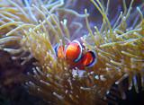 orange clown fish in the coral reef