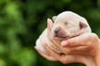 Newborn puppy dog in woman palms