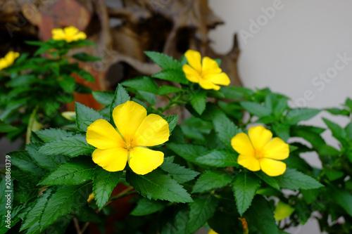 Foto Murales Yellow flowers of Sage rose (West India holly, Yellow alder),Turnera ulmifolia L. TURNERACEAE