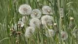 Fluffy dandelion on a green meadow. - 208863775