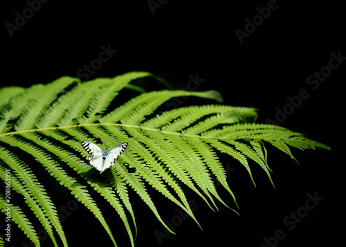 Fotobehang Vlinder white and black strip wing butterfly on leaf with copy space on right side