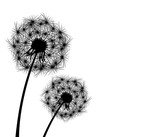 Dandelion, plant 1. Dandelion, flowering  plant. Silhouette of dandelion on white background