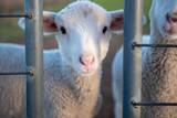 Lamb looking through steel bars - 208870134