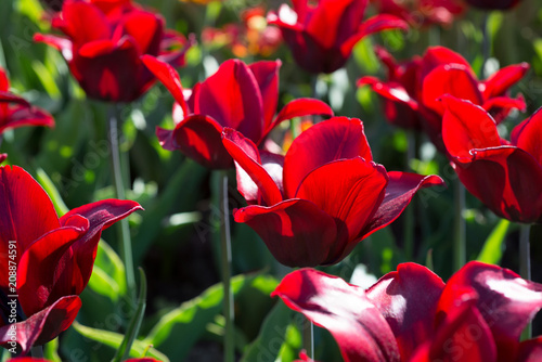 Background of flowers of tulips