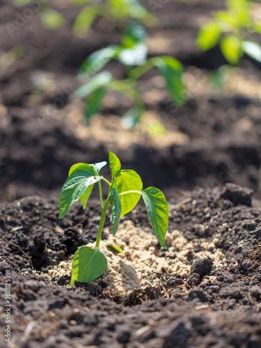 Saplings of paprika in the soil in the garden