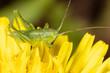 Grasshopper on a yellow dandelion flower