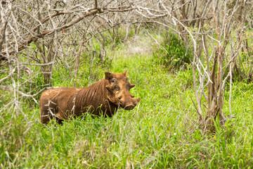 Wild Pig in Kruger National Park