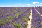 Lavender field in Provence, France - 208887508